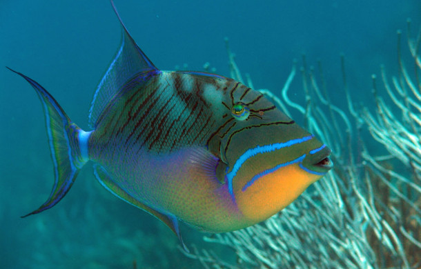 The Queen Triggerfish